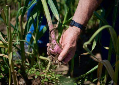 Farngut ist ein Gemüse Bio Bauernhof